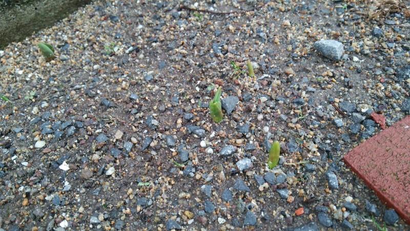 春が来た_チューリップ_芽が出た_春